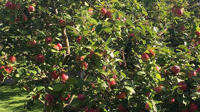 Mycket äpplen på träden i år.