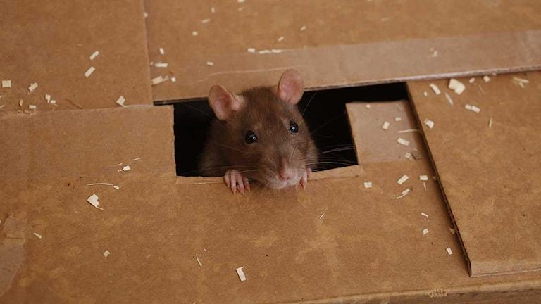 Råtta i låda. Foto: Damian Dovarganes/Scanpix.