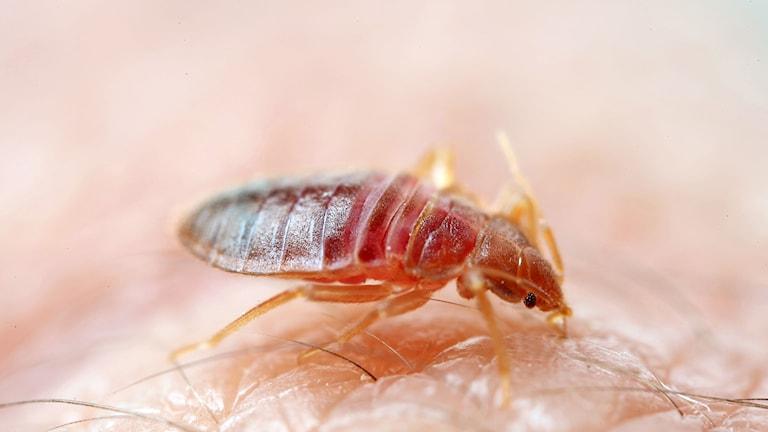En vuxen vägglus är 4-5 mm långt, med bred oval kropp. Färgen varierar från blek gul till brun eller rödbrun efter att den sugit blod.