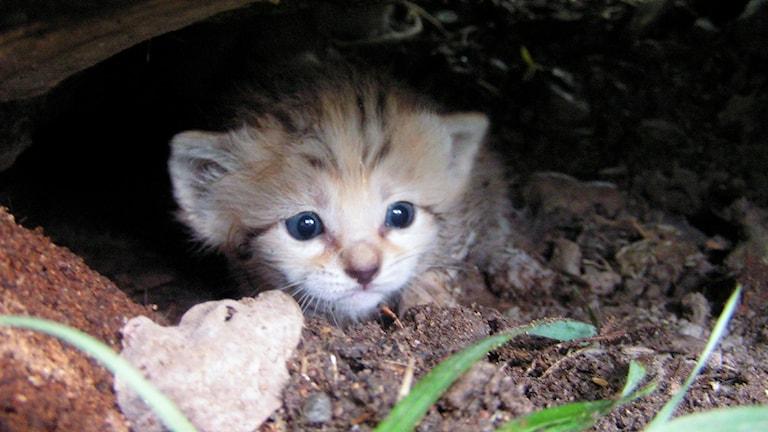 En liten katt