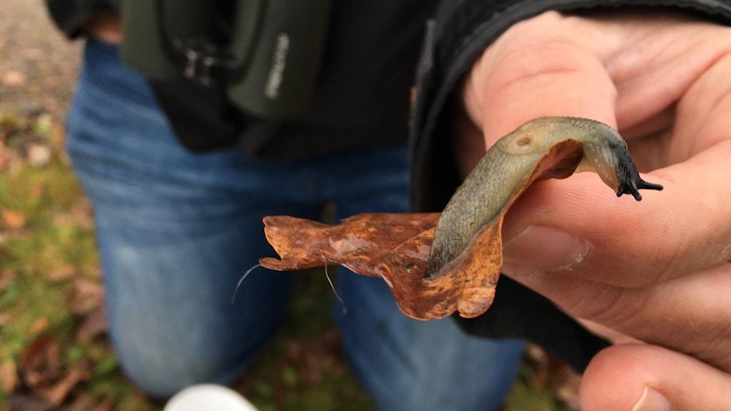 Det första fyndet av svarthuvad snigel i Kronobergs län.