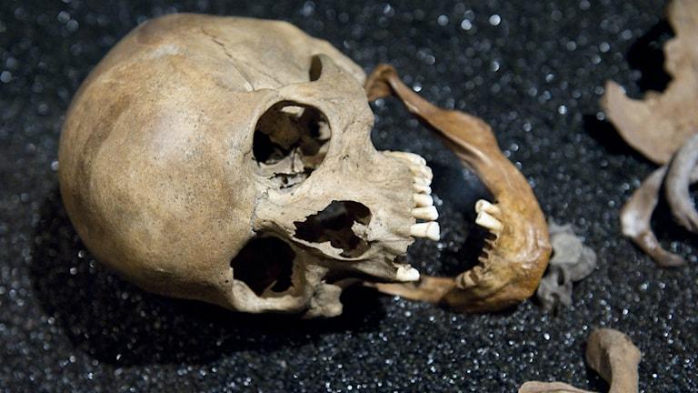 En döskalle tillhörande ett skelett på Wasamuseet.