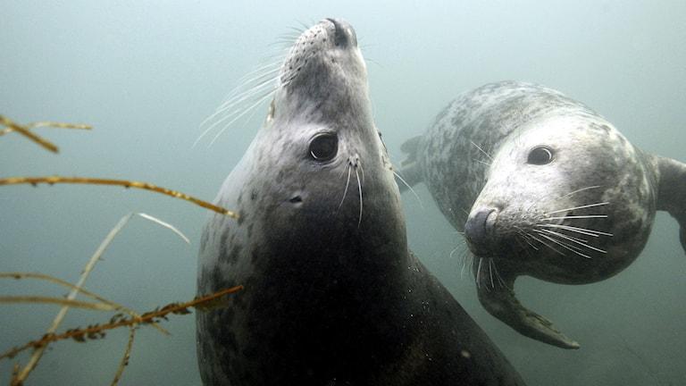 Nya studier visar att gråsälar jagar och dödar tumlare. Foto NIGEL RODDIS/TT