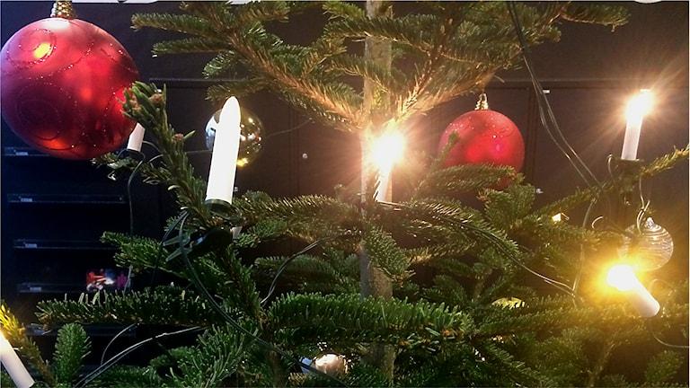 En färsk gran barrar mindre, men vill inte ha socker eller whiskey enligt julgransodlarna. Foto: Susanne Ehlin /P4 Göteborg
