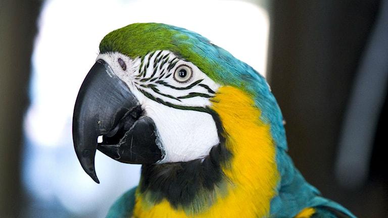 Både vilda och tama fåglar kan sprida papegojsjukan. Foto: Claudio Bresciani / SCANPIX