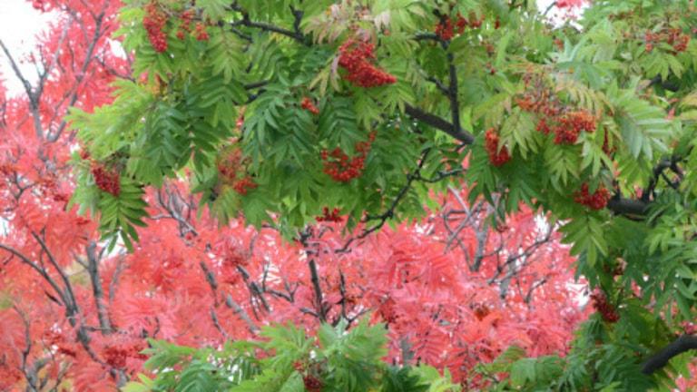 De tolv träden framför huvudentrén är fröplantor och visar stor naturlig variation. Foto: Mats Havström