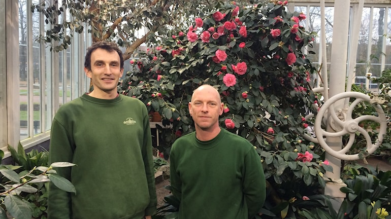 Nicholas Delahooke och Stephan Hammar är trädgårdsmästare och vet allt om Palmhusets sköna kameliadamer.