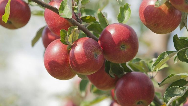Så här fina äpplen kan man få om beskär träden nu. Foto Vitalie Plotnic/AP