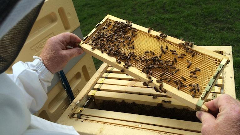 Man som håller i bikupa