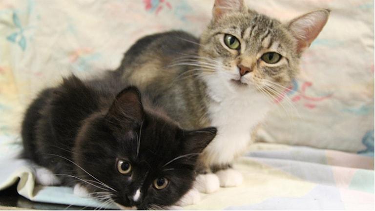 STvå katter som inte har något med texten att göra. Foto: Malin Ulfhager/Sveriges Radio