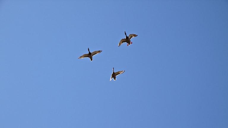 Tre fåglar i en triangel fotade upp i skyn. Himlen är helt blå i bakgrunden. Foto: Jan Westin/Privat.