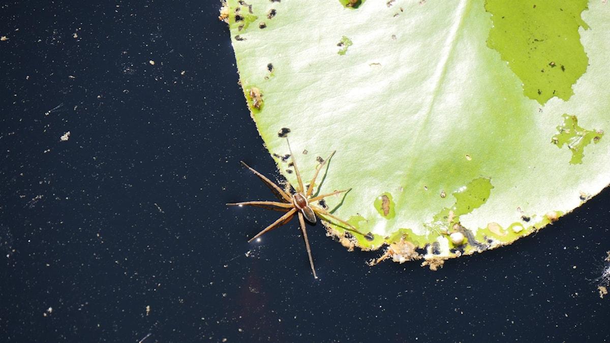 En stor brunaktig spindel fotad uppifrån på ett blad i vattnet. Foto: Jan Westin/Universeum.