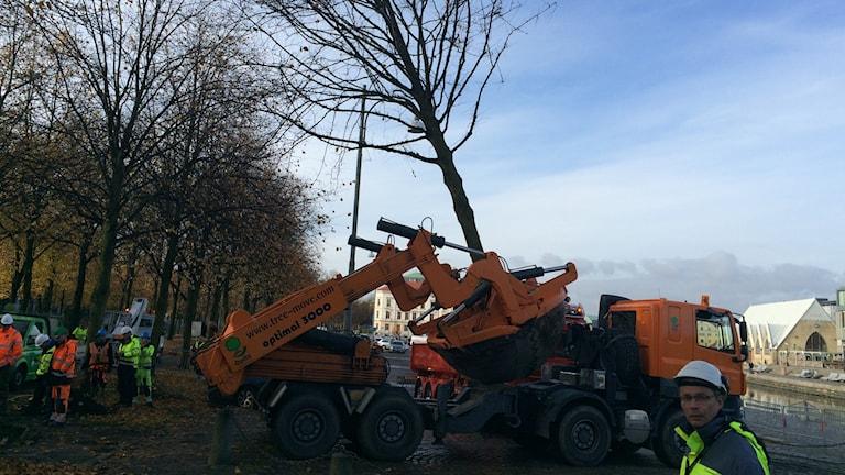 Träd flyttas på prov för att ge plats åt Västlänken. Foto: Hasse Andersson/SR