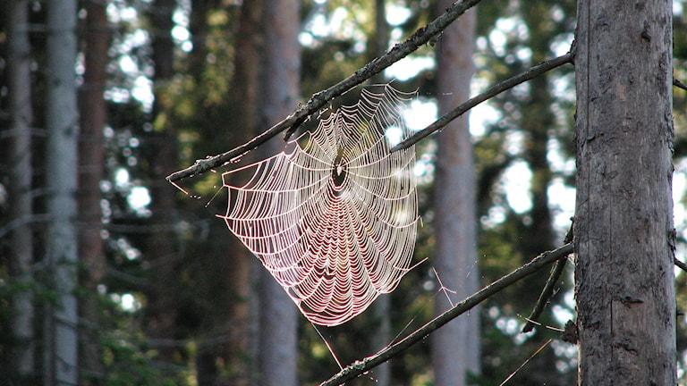 Spindelväv i skogen. Foto: Jan Westin/Universeum