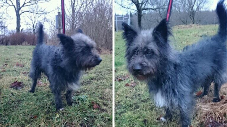 Den lilla blandrashunden lämnades in till Alingsåspolisen i oktober. Vet du vems den är? Foto: Polisen
