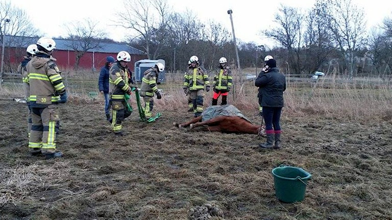Häst ligger ner omgiven av brandmän.