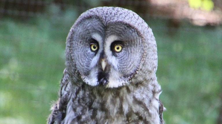 En gråspräcklig uggla tittar in i kameran med stora runda ögon.
