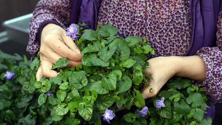 Kvinnan med en växt med lila blommor i händerna  Blommorna har drivits upp i växthus.