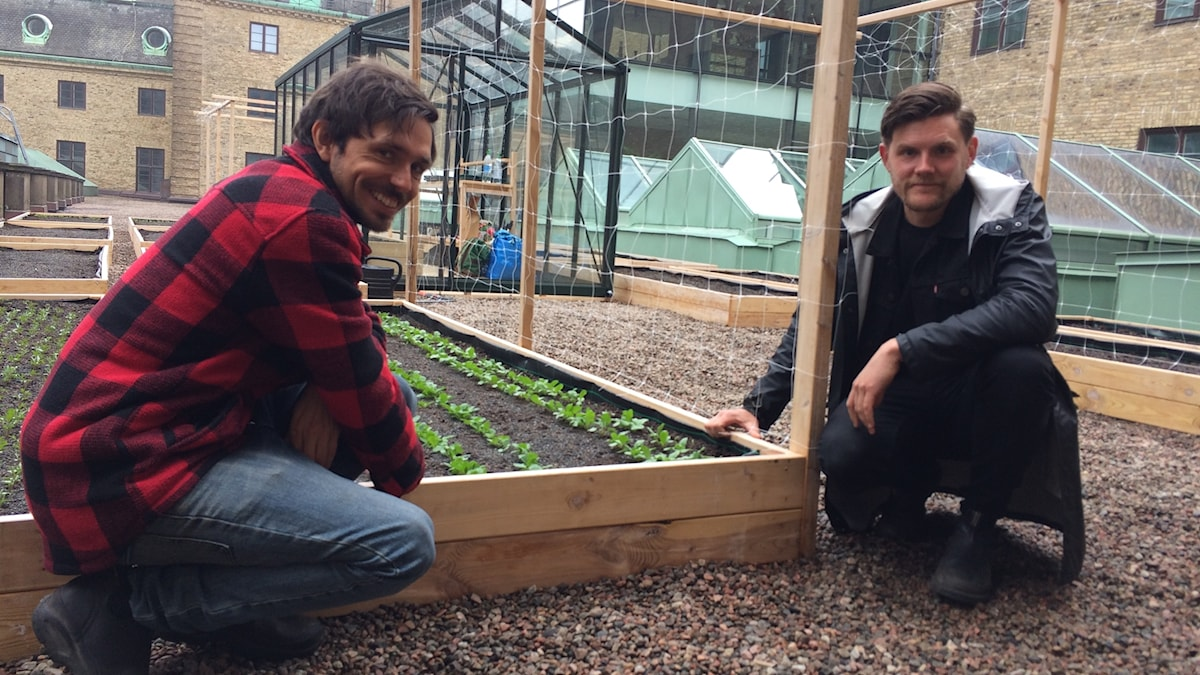 Stadsbönderna Jonas Lindh och William Bailey med sin takodling