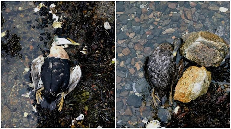 Döda fåglar på Orust