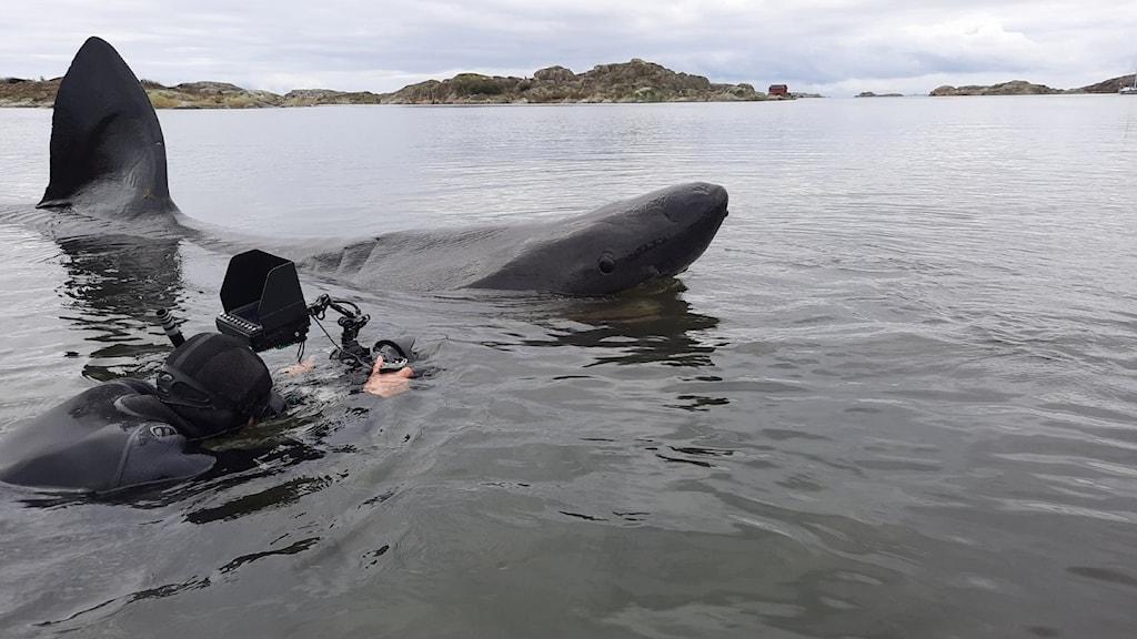 en person i havet filmar en brugd på nära håll