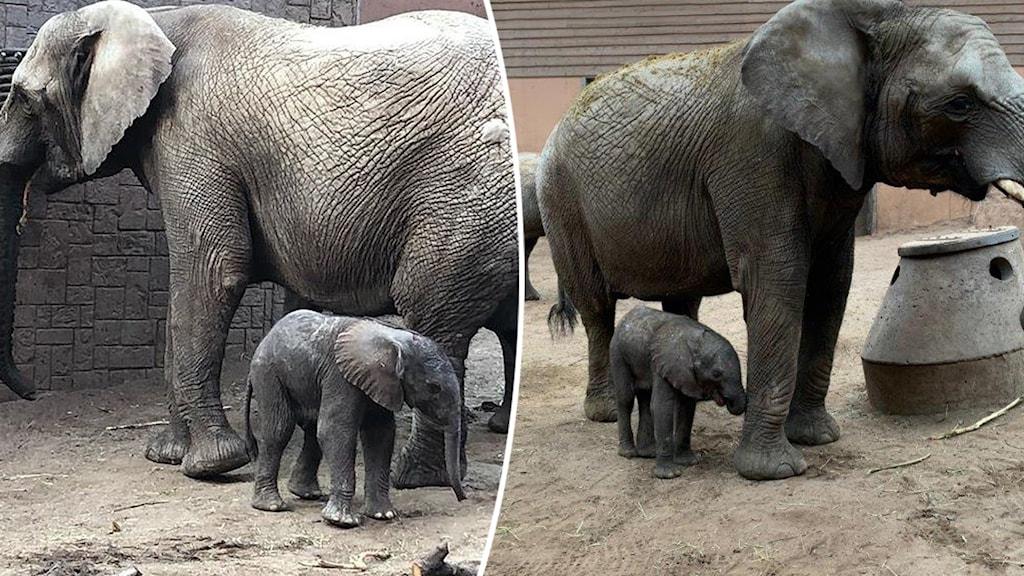 Två elefantkalvar med sina mammor