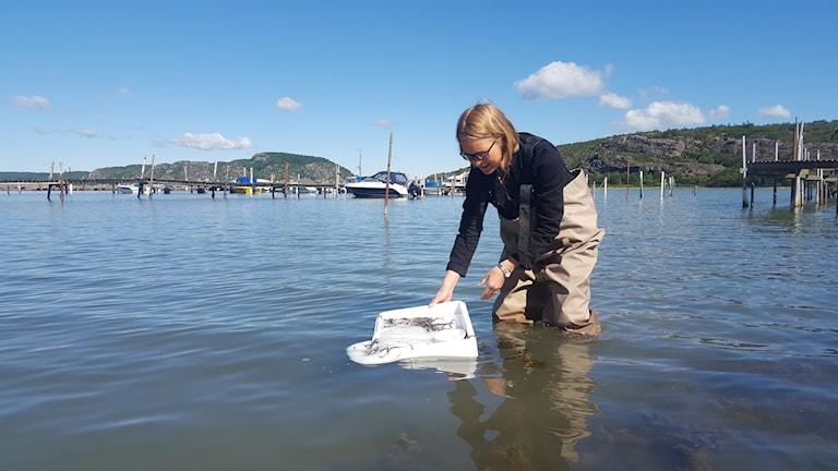 Sara Sandberg från Krafttag ål häller ut ålyngel i havet.