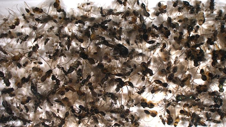 Hundratals insekter på en vit skiva
