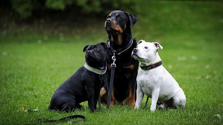 Tre hundar på en gräsmatta
