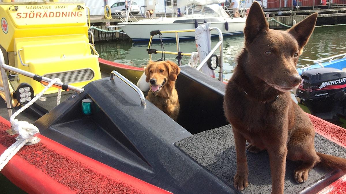 Sjöräddningshundarna Freya och Buza i fören på en av sjöräddningssällskapets båtar.