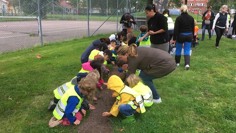 Förskolebarn planterar hundratals blomsterlökar