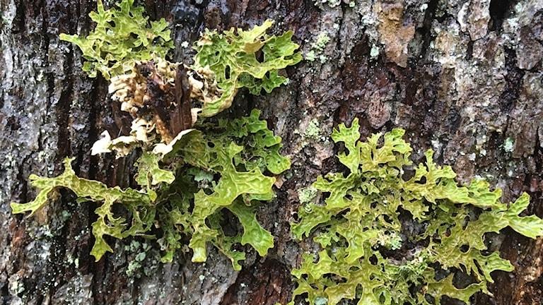 Lunglav på träd