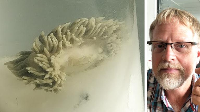 Bildmontage, en bild på ett vattendjur som kallas yfrontad snigelkott samt biologen Kennet Lundin.