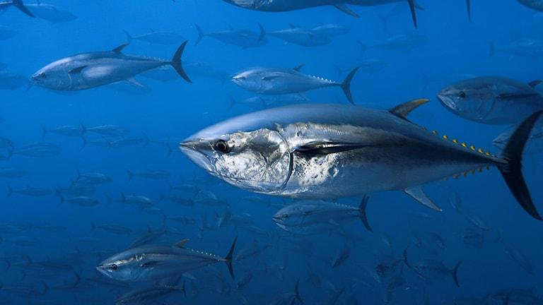 Blåfenad tonfisk simmar i stim.