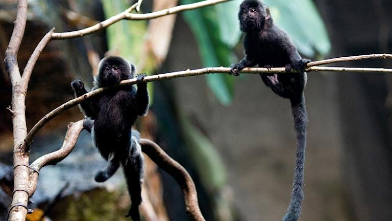 två små svartfärgade apor hänger i grenar.