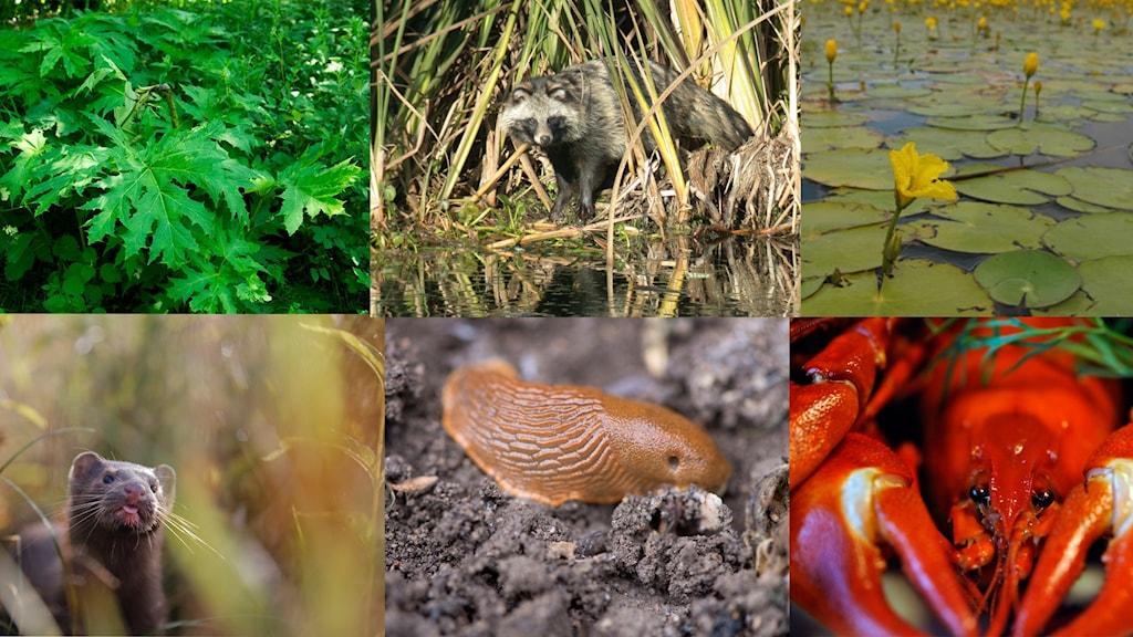 Bild på några invasiva arter i Sverige
