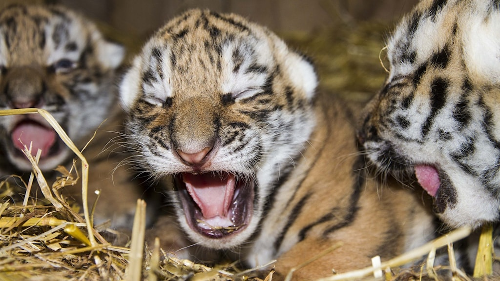 Tigerungar på Nordens Ark.