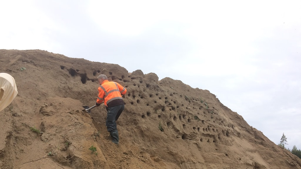 sven svensson ronneby naturskyddsförening gräver på håll i en grusbacke