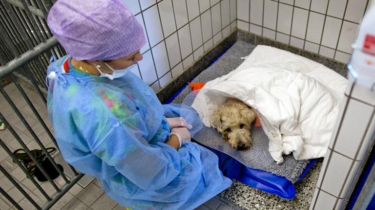 Djursjukskötare tar hand om en hund efter en operation.