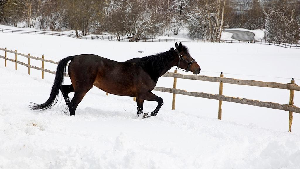 Häst i snöig hage.
