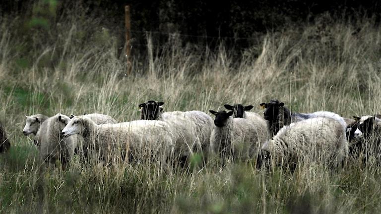 En flock får i en hage.