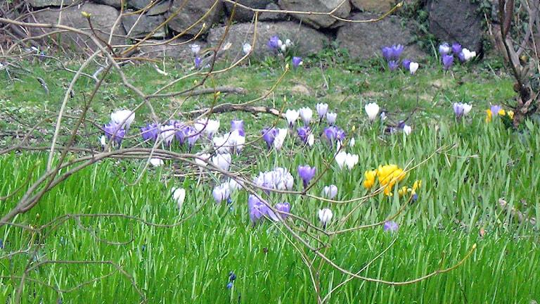 Vårblommor, lila, vita och gula krokus, i grönt gräs vid en stenmur och buskar. Foto: SR.