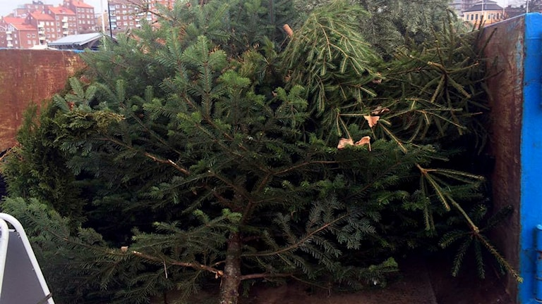 Massor med julgranar i en container.