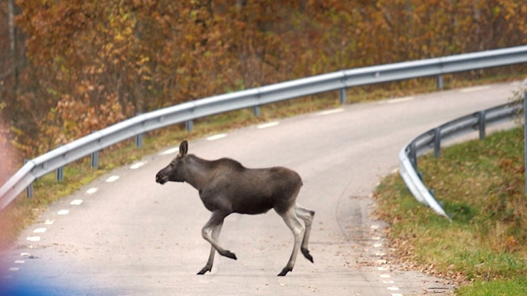 Älg springer över en väg, bilden är tagen från en bil.