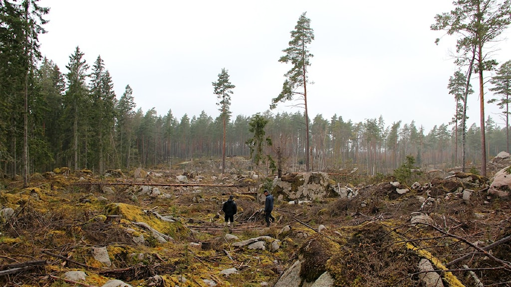 Två av Skogsstyrelsens inspektörer går runt i ett kalhygge i Jakobstorp norr om Tving. Foto: Frank Luthardt/Sveriges Radio.