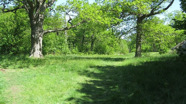 Ekar i det grönskande naturreservatet Lyckeby ekebacke.  Foto: Jerker Hagman/Sveriges Radio.