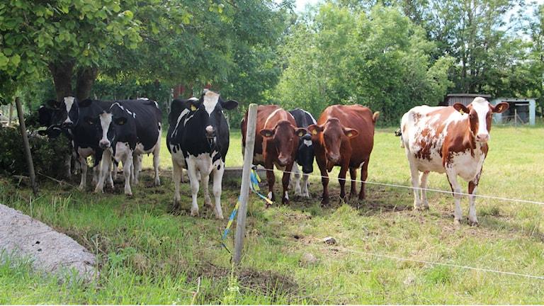 Kor som står på rad i en hage. Foto: Frank Luthardt/Sveriges Radio.