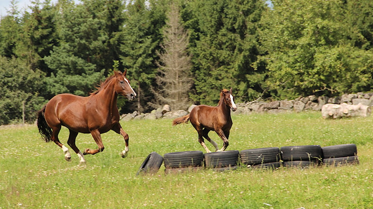 Sommarlovslediga fältävlanshästar springer över en äng. Foto: Frank Luthardt/SR Blekinge