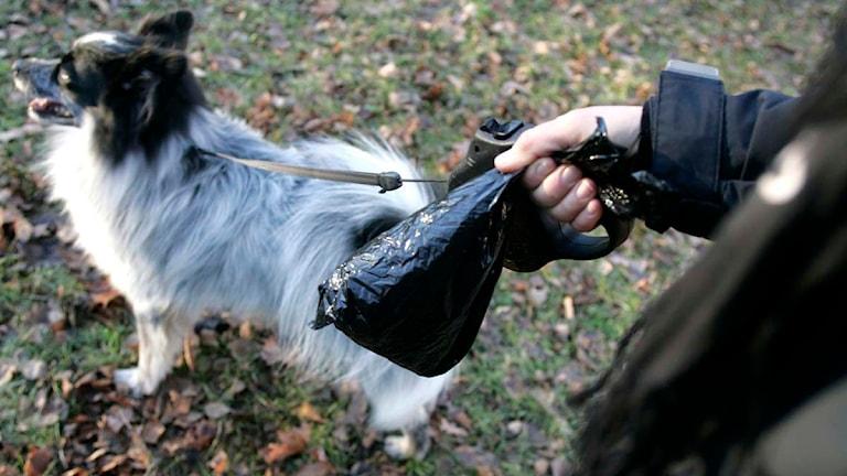 Person håller i en hundbajspåse, i bakgrunden en hund i koppel. Foto: Bertil Ericsson/Scanpix.