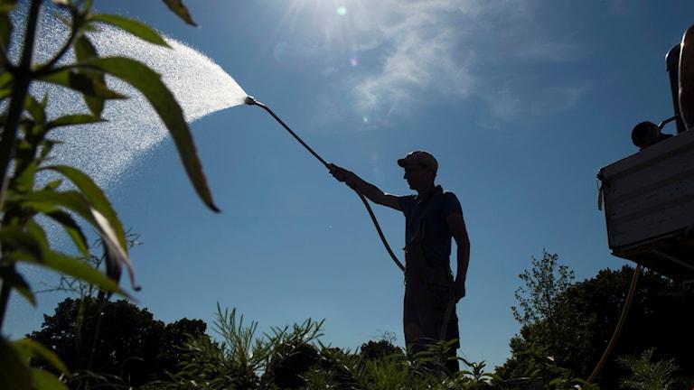 En man står och sprutar över växter med en vattenslang.